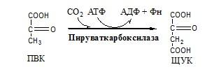 Углеводы. Катаболизм ПВК в митохондриях