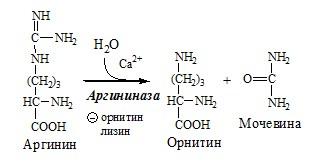 Реакции орнитинового цикла