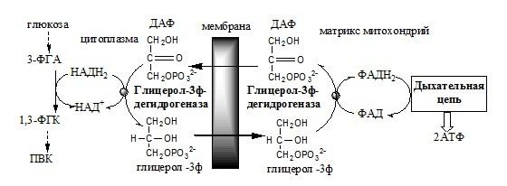 Глицерофосфатный челночный механизм