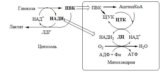 Регуляция гликолиза. Углеводы