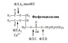 Гидролиз лецитина. липиды
