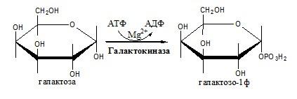 Углеводы. Метаболизм галактозы