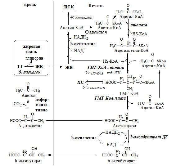 Синтез кетоновых тел