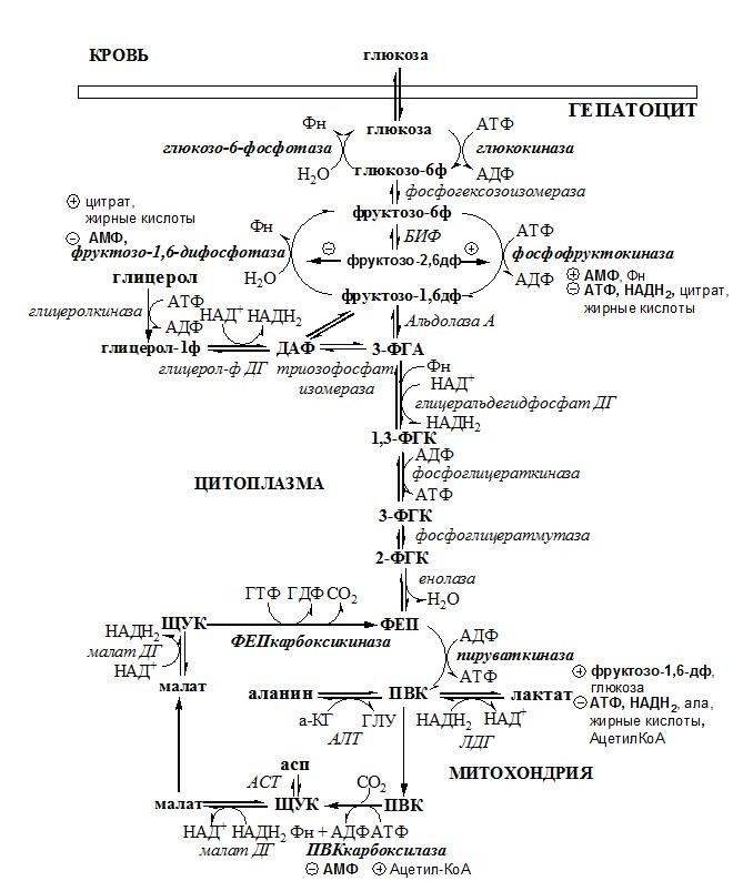 реакции глюконеогенеза. Углеводы