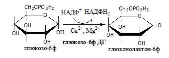 Окислительная стадия пентозофосфатного шунта. Углеводы
