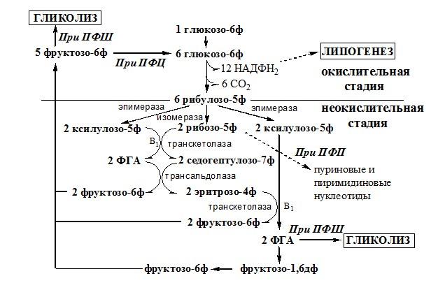 Схема пентозофосфатного шунта