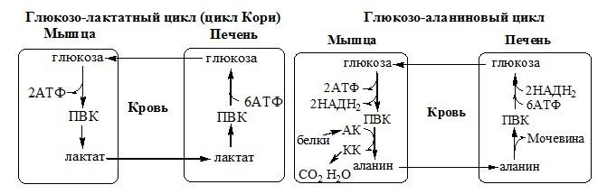 Глюкозо-лактатный цикл (цикл Кори) Глюкозо-аланиновый цикл