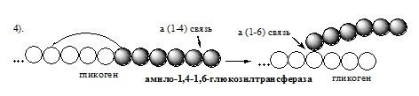 Синтез гликогена (гликогеногенез)
