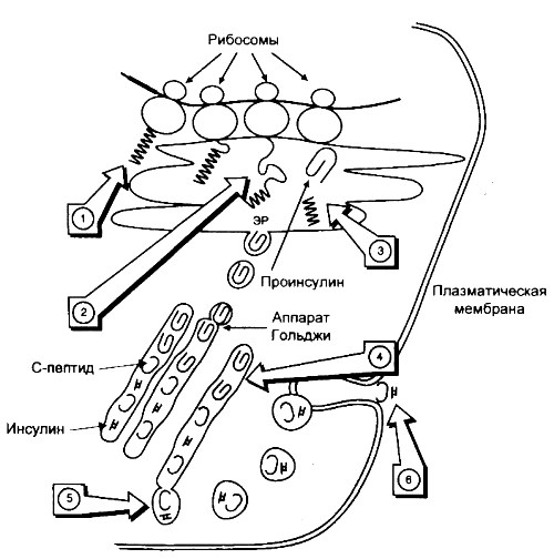 Схема биосинтеза инсулина
