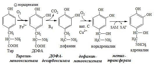 Обмен аминокислоты тирозина в надпочечниках и нервной ткани