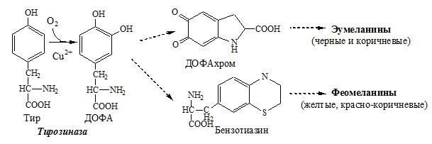 Обмен тирозина в меланоцитах