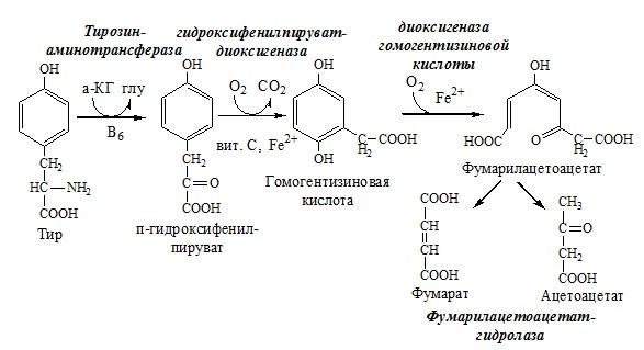 Катаболизм тирозина в печени