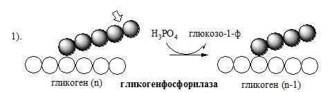 Распад гликогена (гликогенолиз)