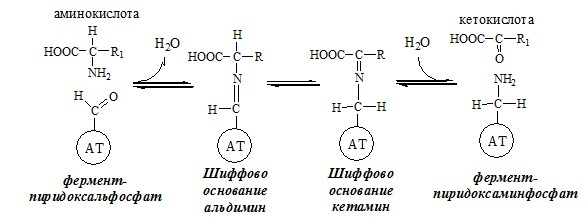 Механизм переаминирования аминокислоты