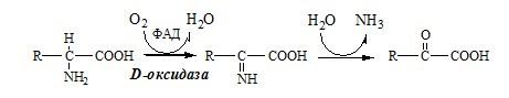 Окислительное дезаминирование аминокислоты