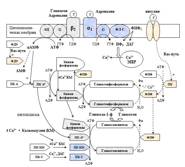 Регуляция метаболизма гликогена в печени