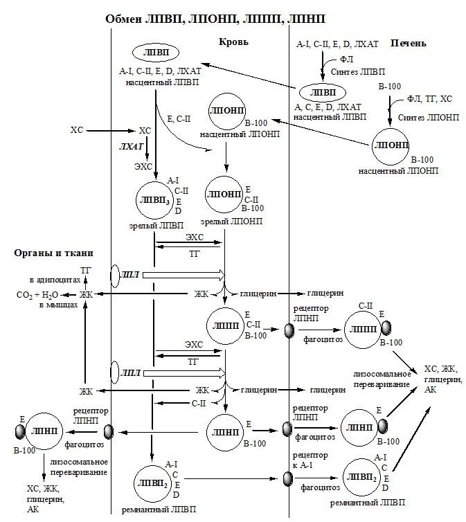 обмен липопротеидов, липиды