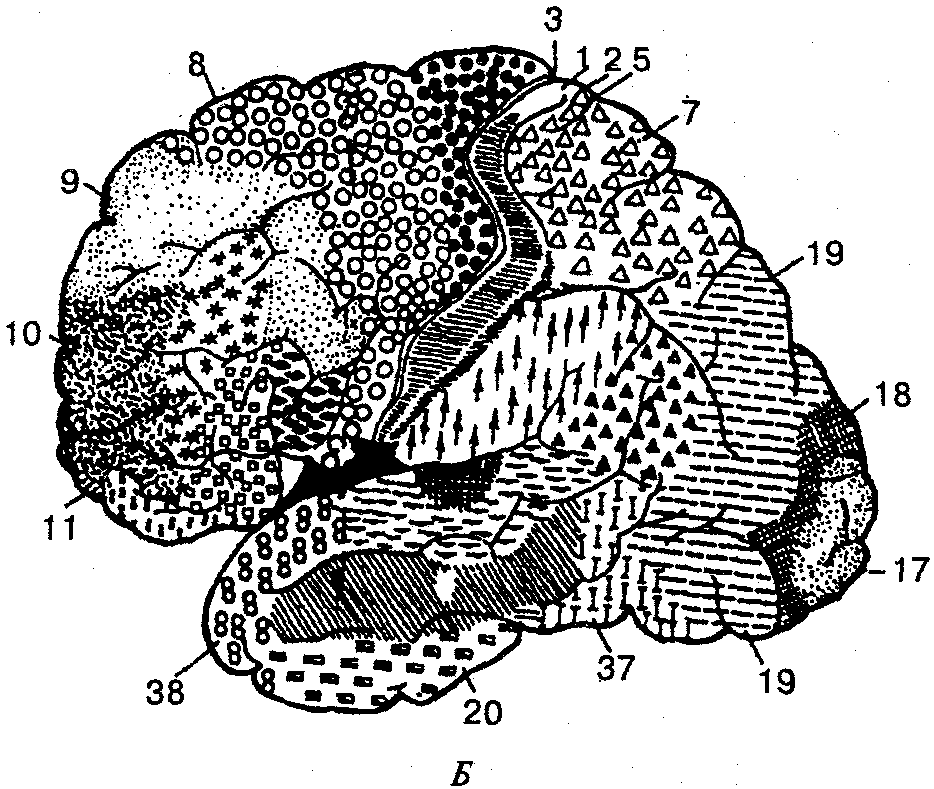 Цитоархитектонические поля коры больших полушарий большого мозга