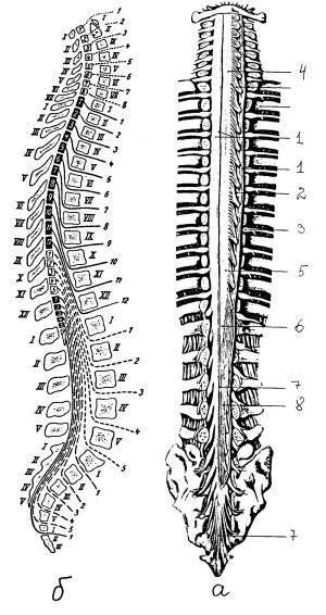 Спинной мозг в позвоночном канале