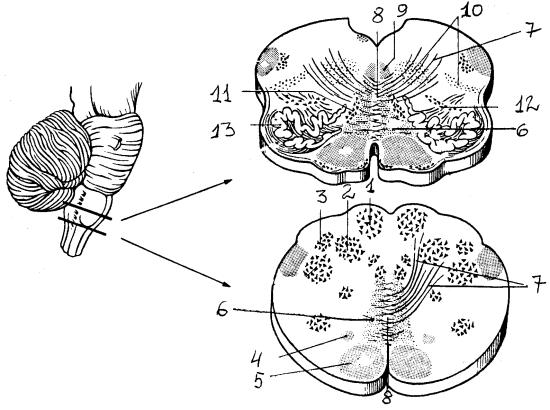 Поперечный разрез продолговатого мозга