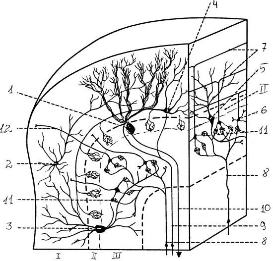 Кора мозжечка и ее нейронный состав