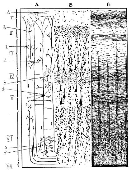 Строение коры больших полушарий