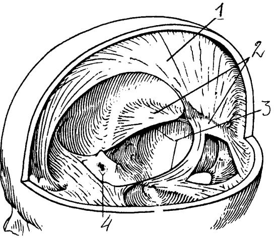 Серп мозга и палатка (намет) мозжечка