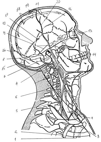 Вены головы и синусы