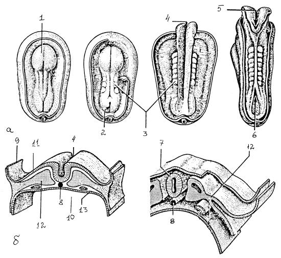 Дифференцировка зародышевых листков