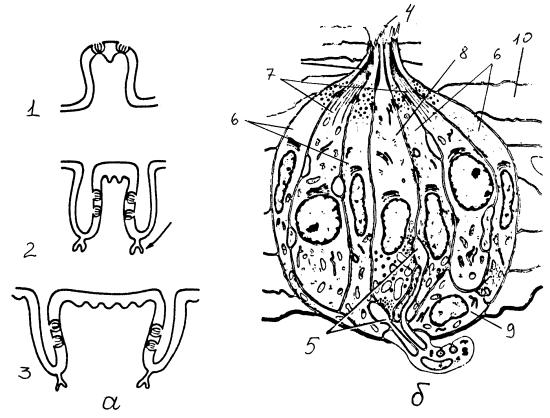 Типы вкусовых сосочков, строение вкусовой почки