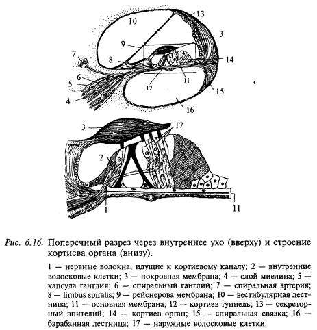 стрение кортиева органа и внутреннего уха