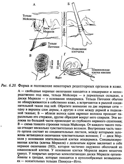 положение рецепторных органов на коже