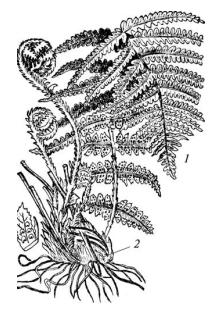 Щитовник (папоротник) мужской