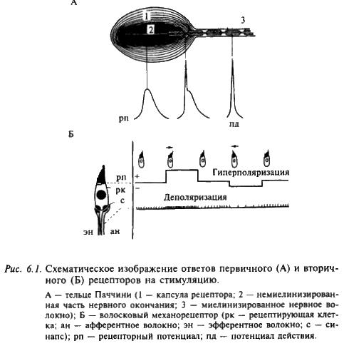 схема ответов первичного и вторичного рецепторов на стимуляцию