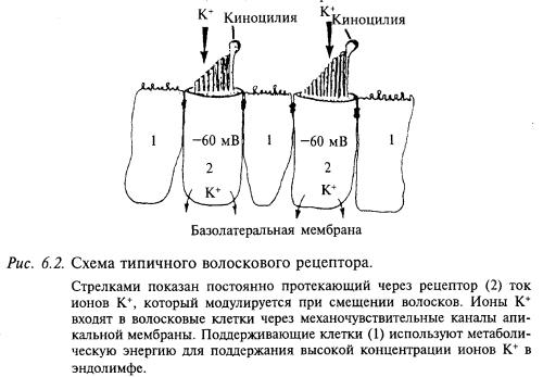 схема типичного волоскового рецептора