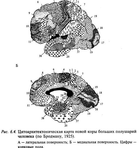 цитоархитектоническая карта новой коры больших полушарий