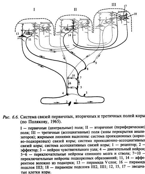 система связей первичных, вторичных и третичных полей коры