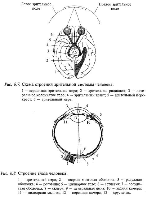 схема строения зрительной системы, строение глаза человека