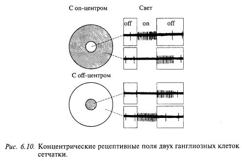концентрические рецептивные поля двух ганлиозных клеток сетчатки