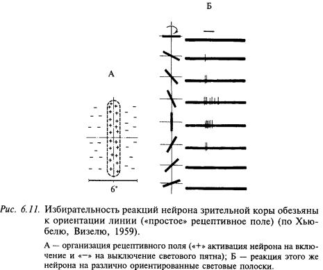избирательность реакий нейрона зрительной коры