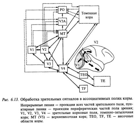 обработка зрительных сигналов в ассоциативных полях коры
