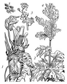 Ревень тангутский