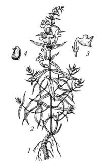 Шлемник байкальский