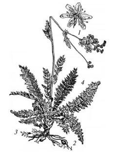Лабазник обыкновенный (шестилепестный)