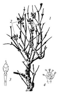 Эфедра хвощевая