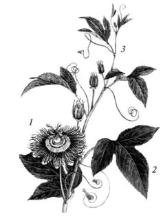 Пассифлора инкарнатная