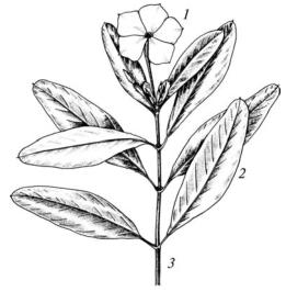 Катарантус (барвинок) розовый