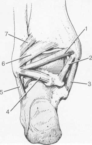 Связки голеностопного сустава.