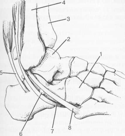 Наружные сухожилия голеностопного сустава.