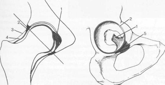 Анатомия тазобедренного сустава.